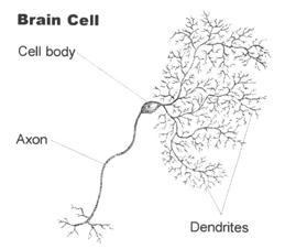 Структура на мозъчните клетки